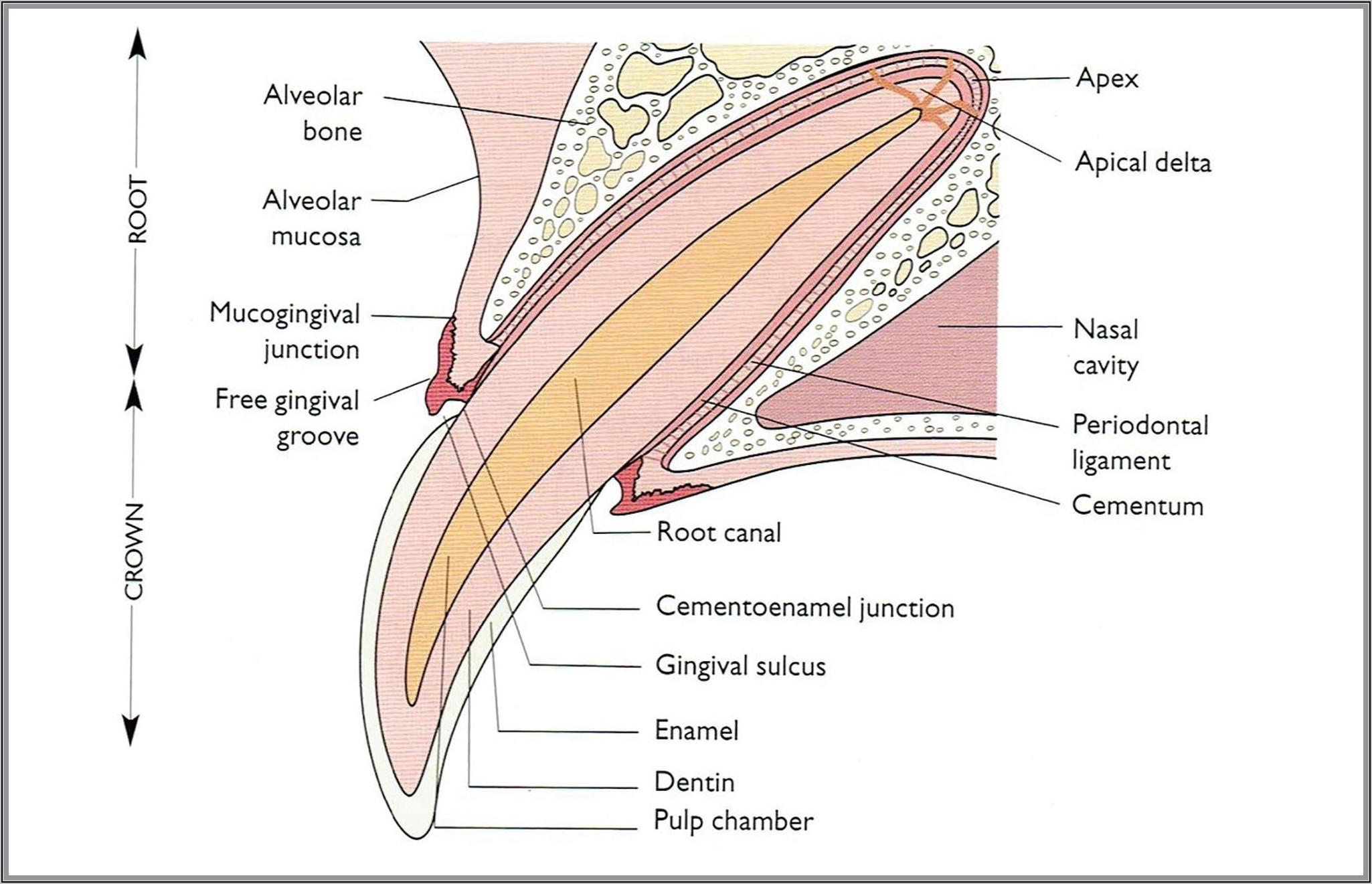 Human Canine Teeth Diagram