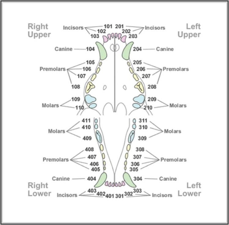 Human Canine Tooth Diagram