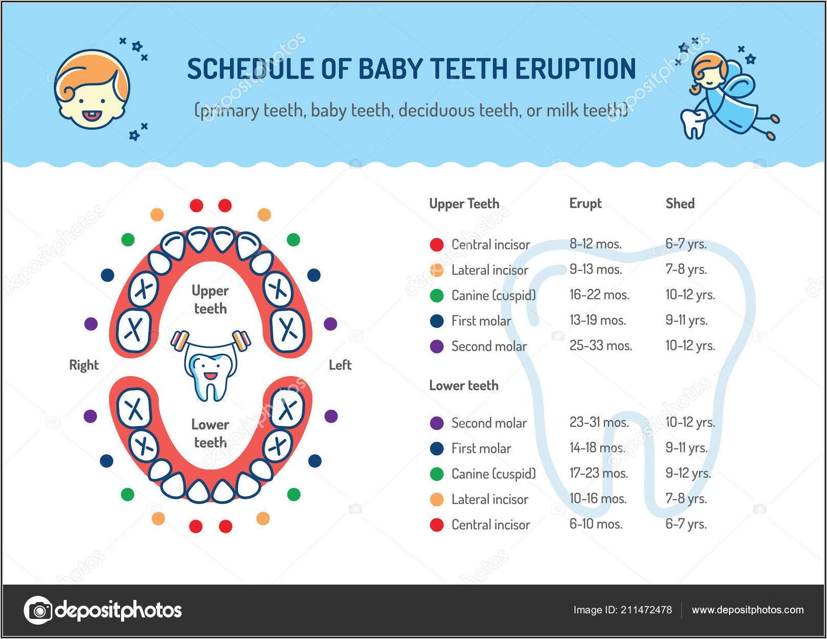 Simple Diagram Of Human Teeth