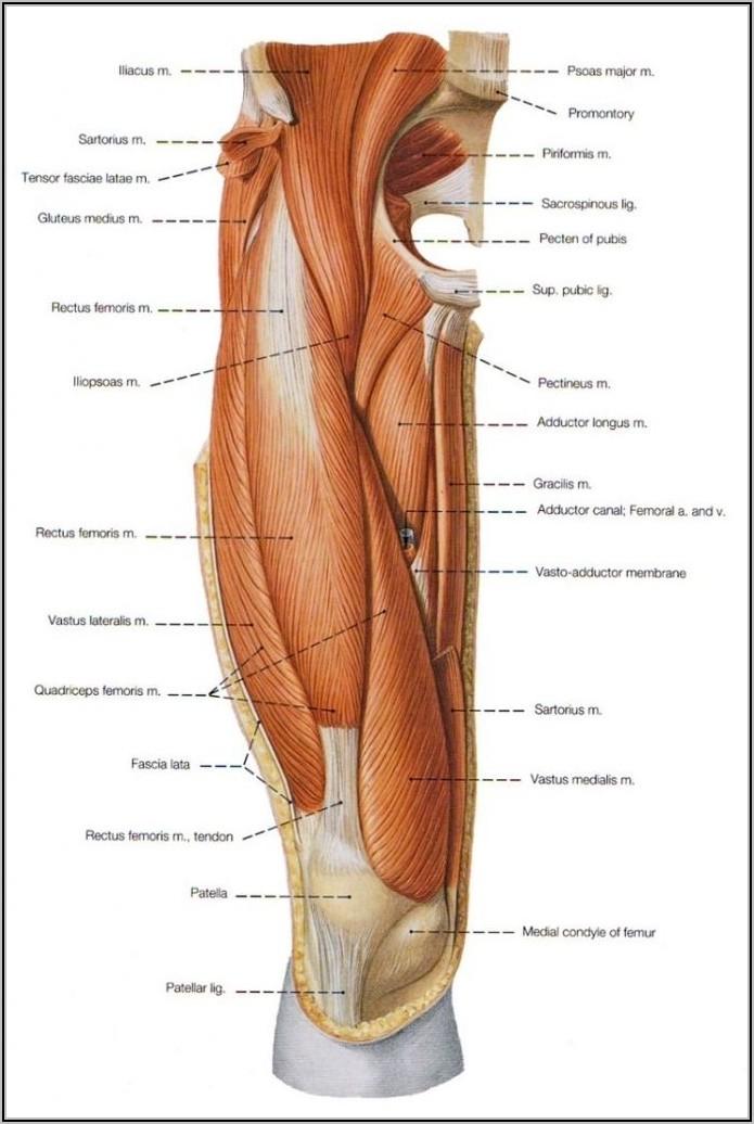 Hip Joint Anatomy Diagram
