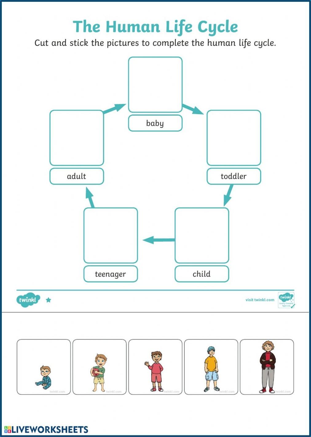 Human Life Cycle Worksheet Grade 3