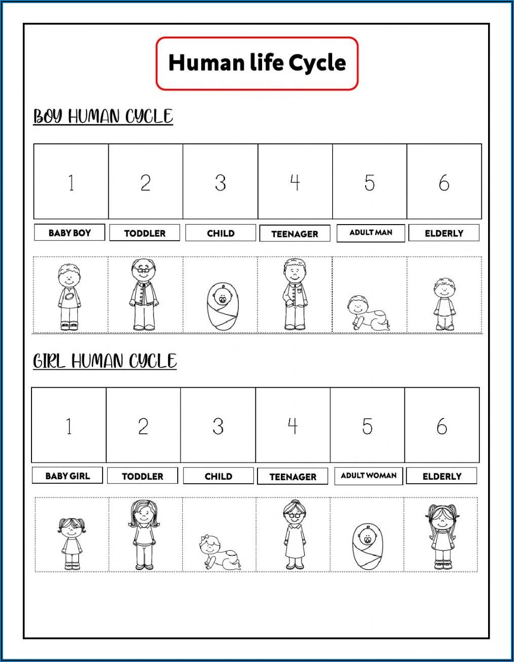 Human Life Cycle Worksheets Pdf
